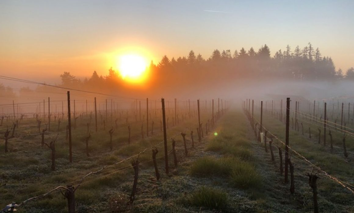 Bjornson vineyard at sunrise with mist over vines